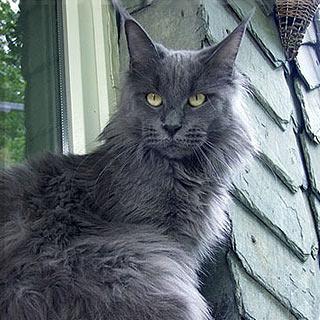Мейнская енотовая кошка или мейн кун