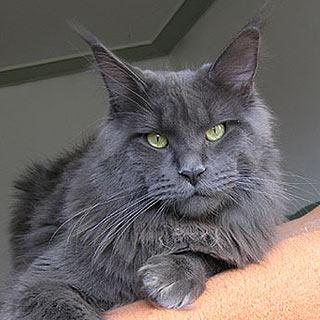 Кот енотовидный
