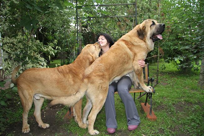 порода испанских собак фото